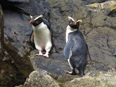 Fiordland Crested Penguins on the rugged coastline
